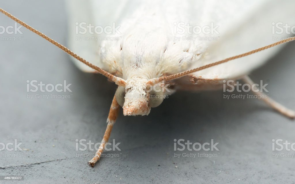 White Moth with Green Eyes stock photo