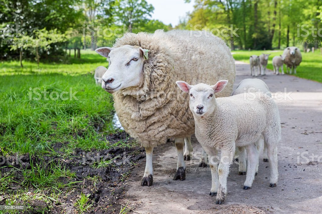 White mother sheep and lamb standing on road stock photo