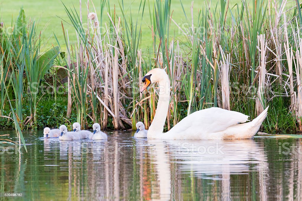 White mother swan swimming with chicks stock photo