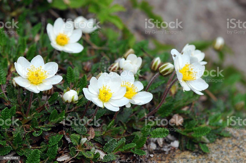 white mountain aven (Dryas octopetala) stock photo