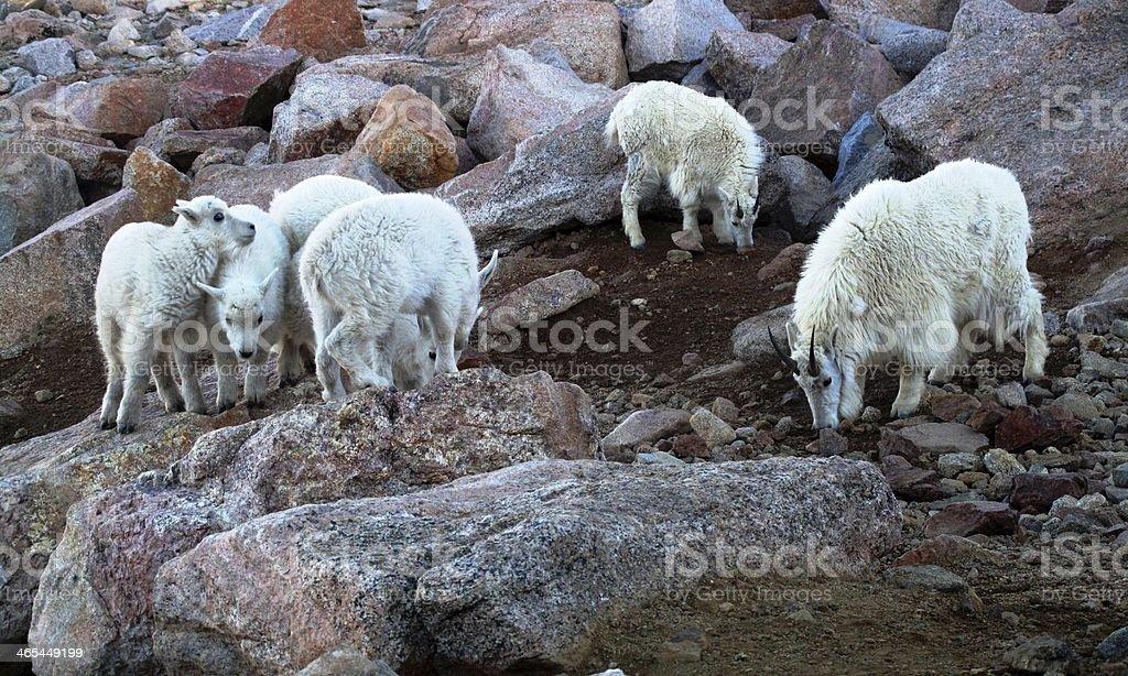 White Mountain Goats stock photo