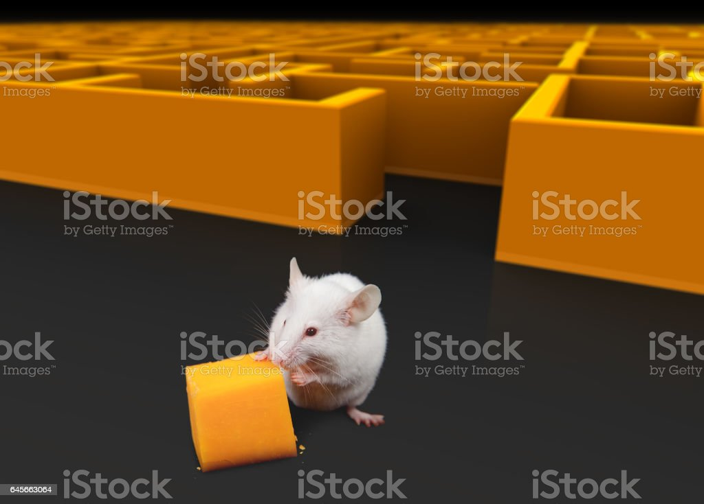 White mouse at exit of maze with Cheese. stock photo