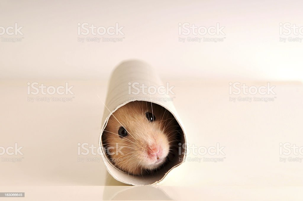 A white mouse hiding inside a paper roll royalty-free stock photo