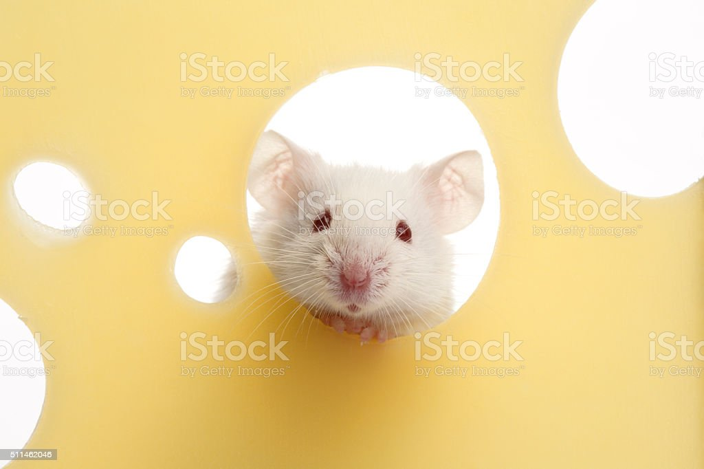 White mouse on piece of cheese stock photo