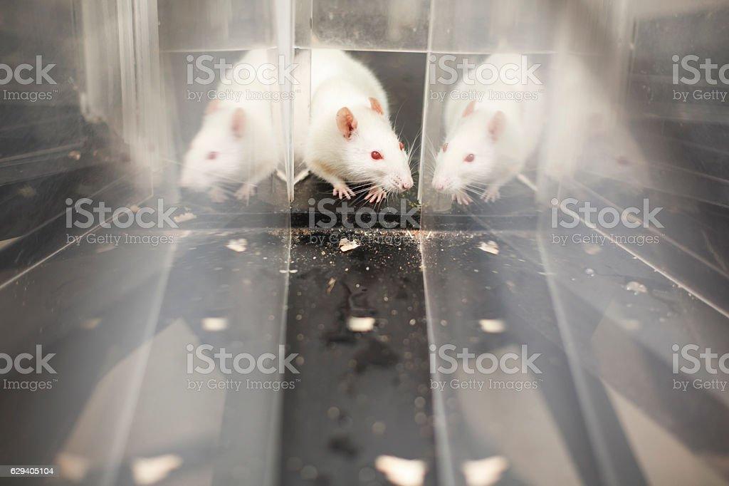 White Mouse stock photo