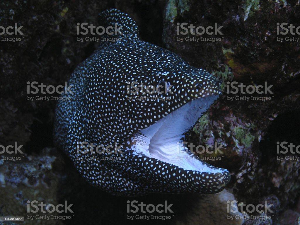 White Mouth Moray Eel stock photo