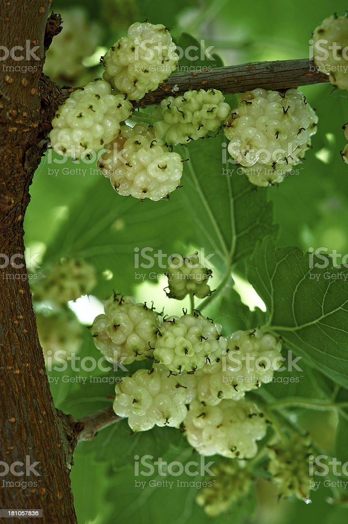 White mulberry on tree stock photo