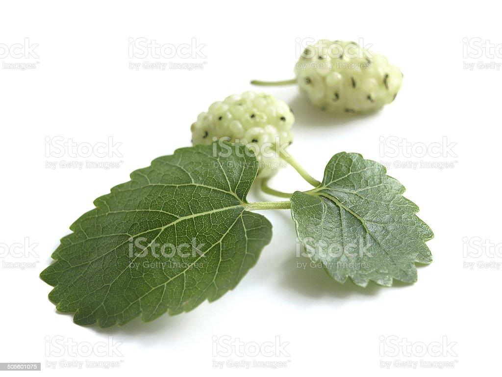 White Mulberry (Morus Alba) stock photo