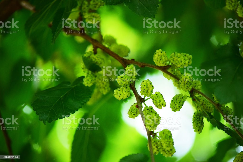 White mulberryes in tree stock photo