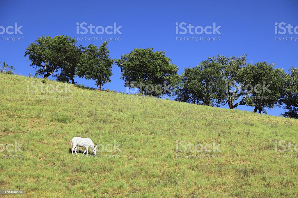 White mule graze on the lawn royalty-free stock photo
