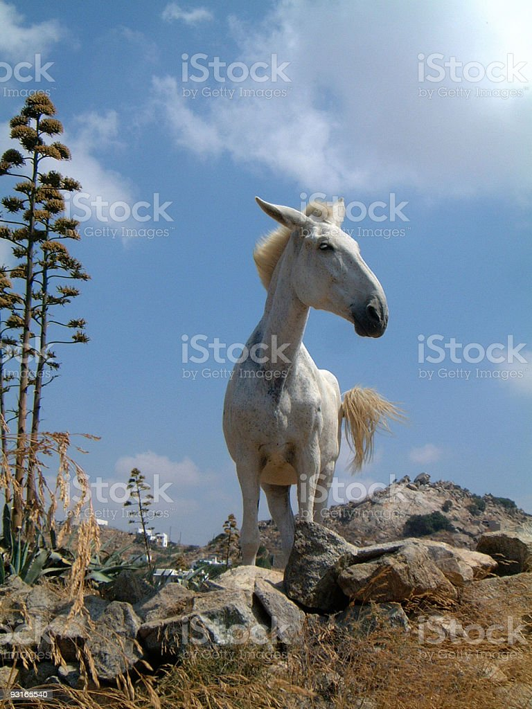 White Mule royalty-free stock photo