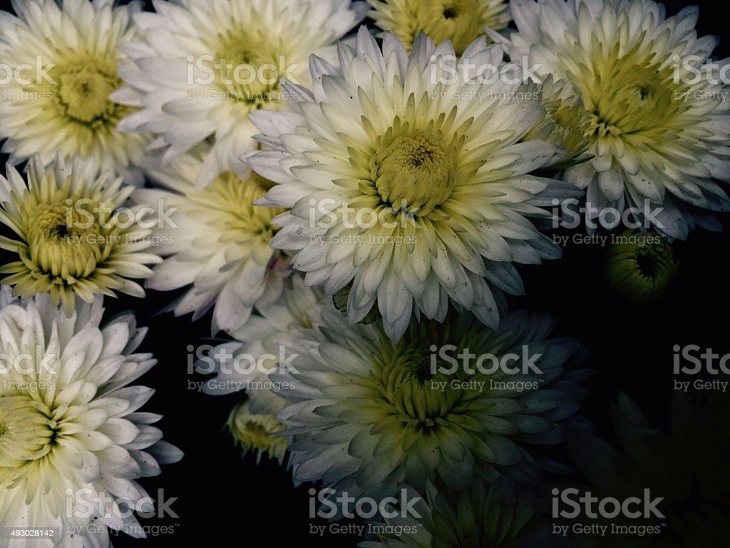 White mums close up royalty-free stock photo