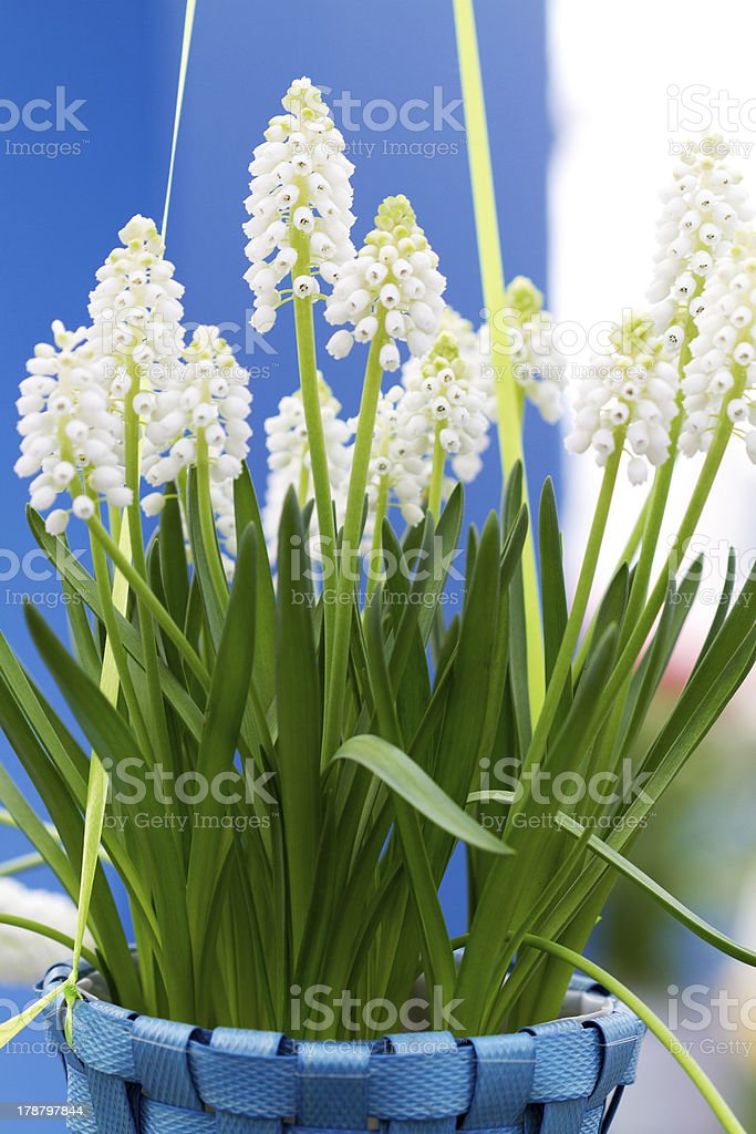 white Muscari botryoides in closeup stock photo