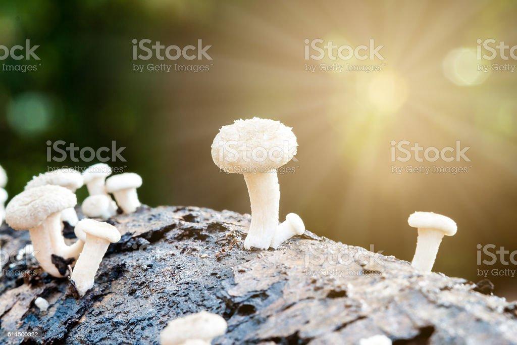 white mushroom log stock photo