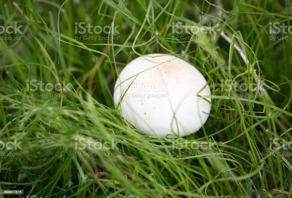 White mushroom on nature in the grass stock photo