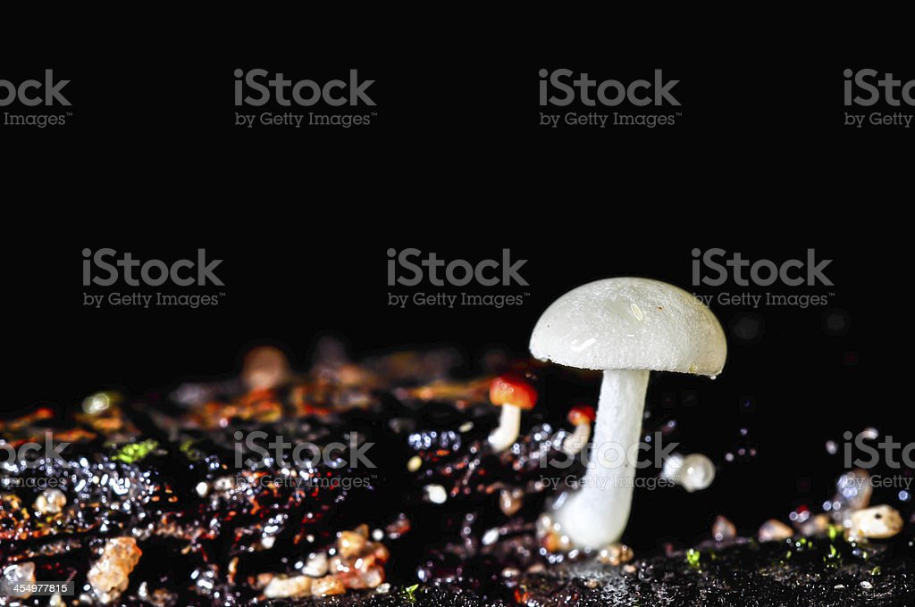 white mushroom stock photo