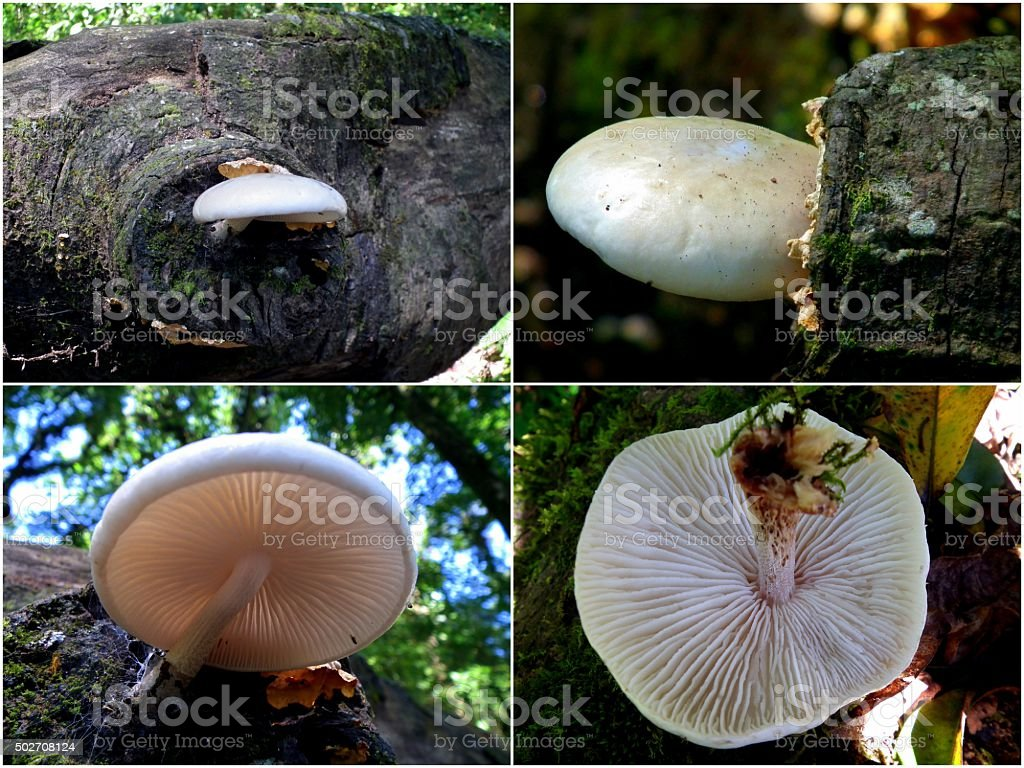 White Mushroom stock photo