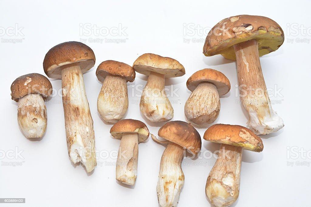 White mushroom (Boletus edulis). stock photo