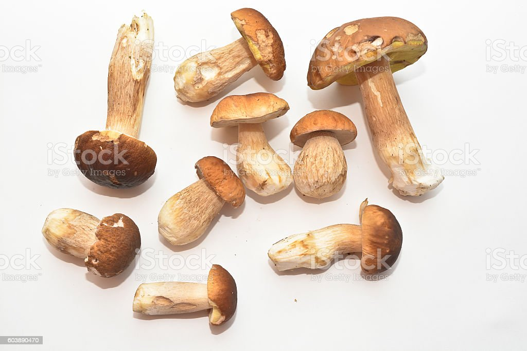 White mushroom (Boletus edulis). stock photo
