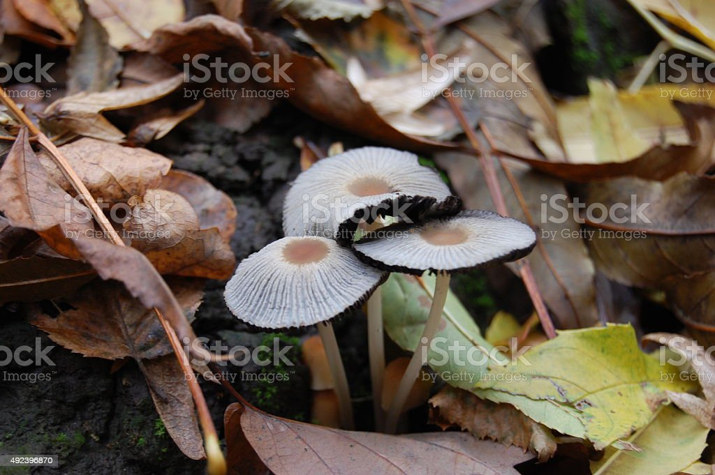 White mushrooms in the autumn forest. royalty-free stock photo