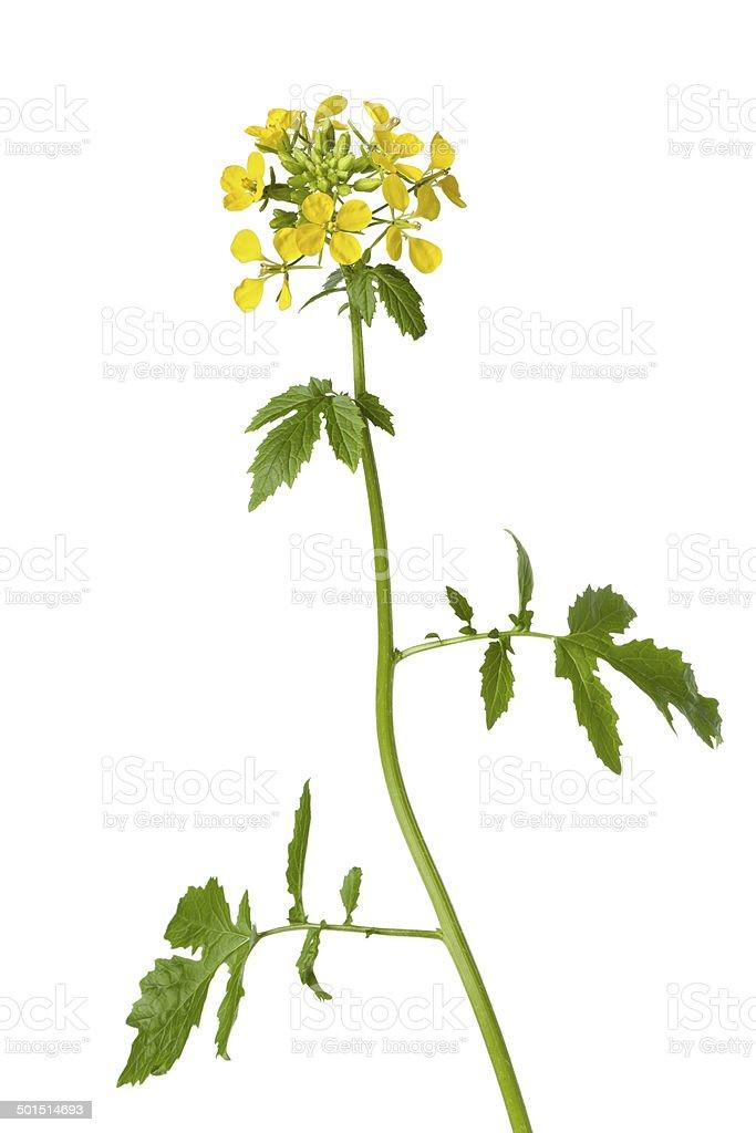White mustard plant stock photo