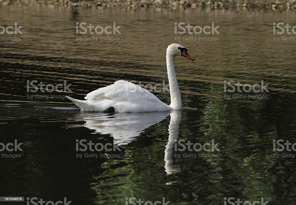 White mute swan reflected in brown and green waters royalty-free stock photo