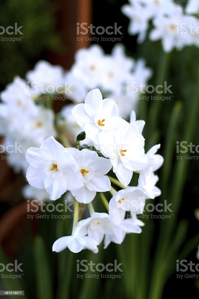 White Narcissus Flowers Against Green Background stock photo