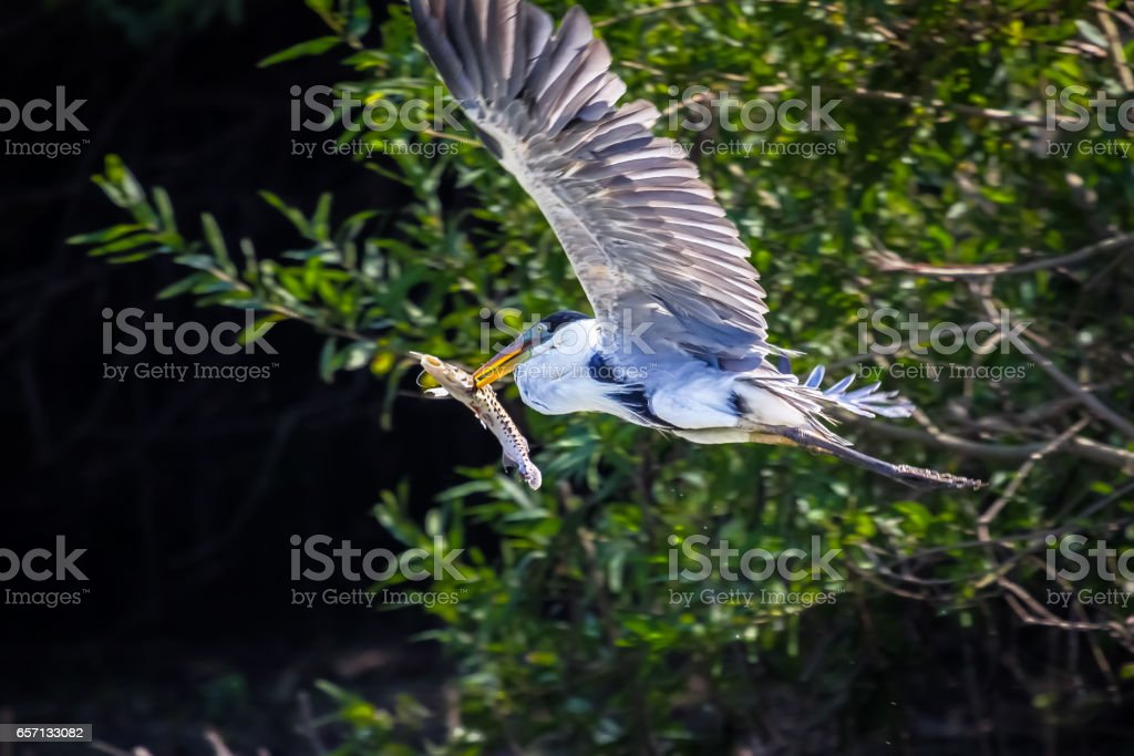 White necked heron flying with a fish spiked with its beak stock photo