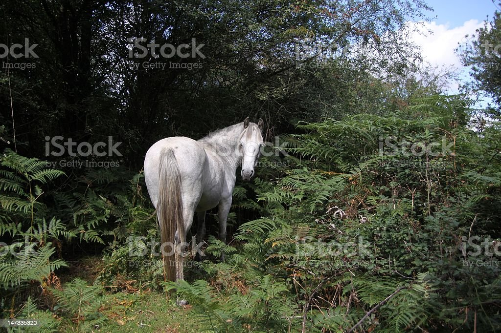 white new forest pony standing at edge of woodland stock photo