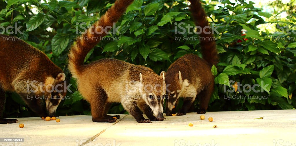 White nosed Coatis eating nuts. stock photo