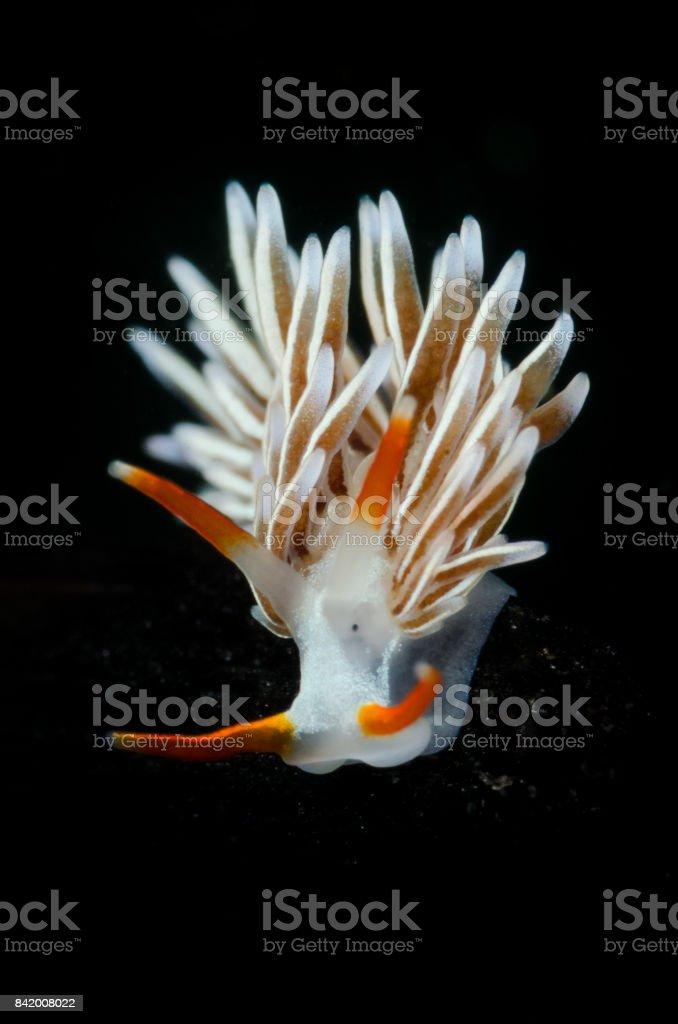 White Nudibranch stock photo