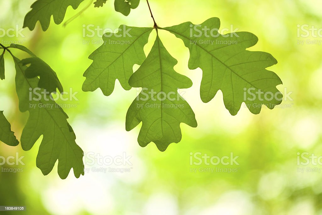 White Oak Tree Leaves in Forest, Backlit stock photo