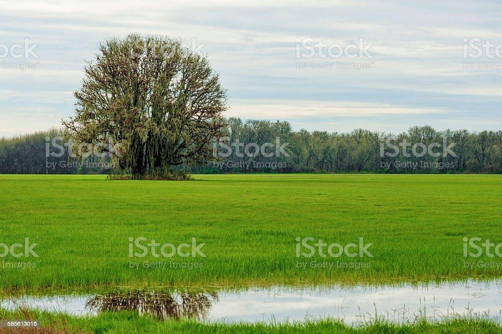 White Oak Tree stands alone in a grassy field stock photo