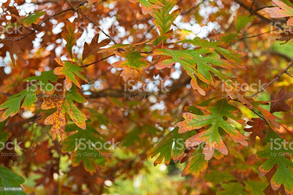 White Oak trees leaves turning into Autumn yellow shade stock photo