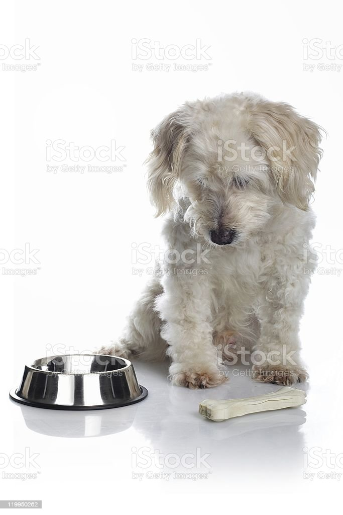White old dog with bone royalty-free stock photo