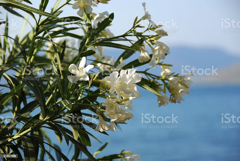 White oleander (nerum) stock photo