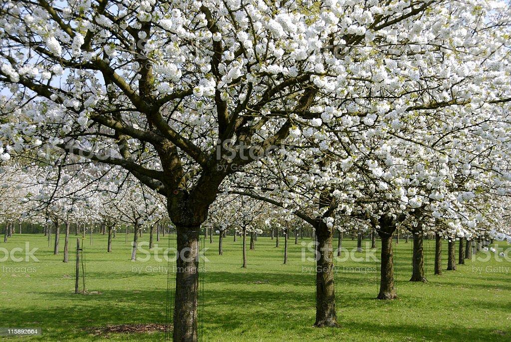 White orchard royalty-free stock photo