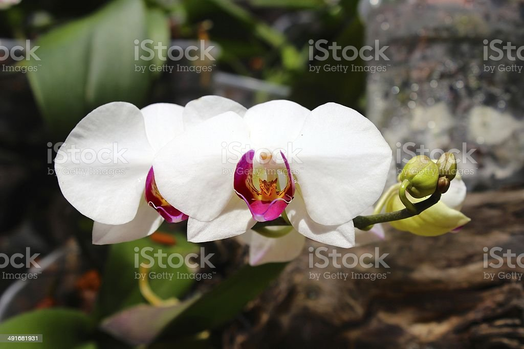 White Orchid at Xcaret Park, Mexico's sacred paradise royalty-free stock photo