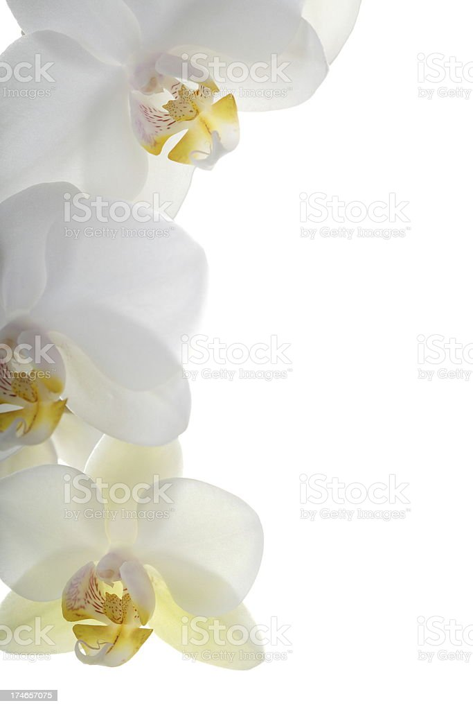 White Orchid Detail stock photo