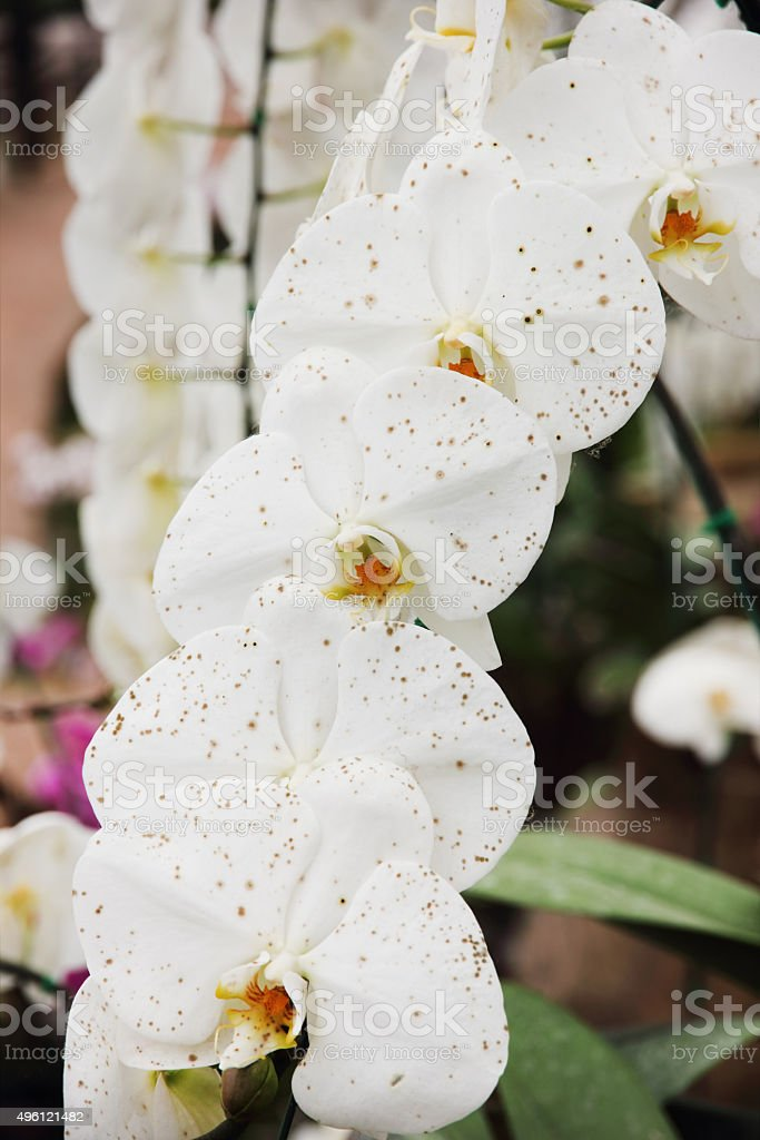 White orchid flower in the garden. stock photo