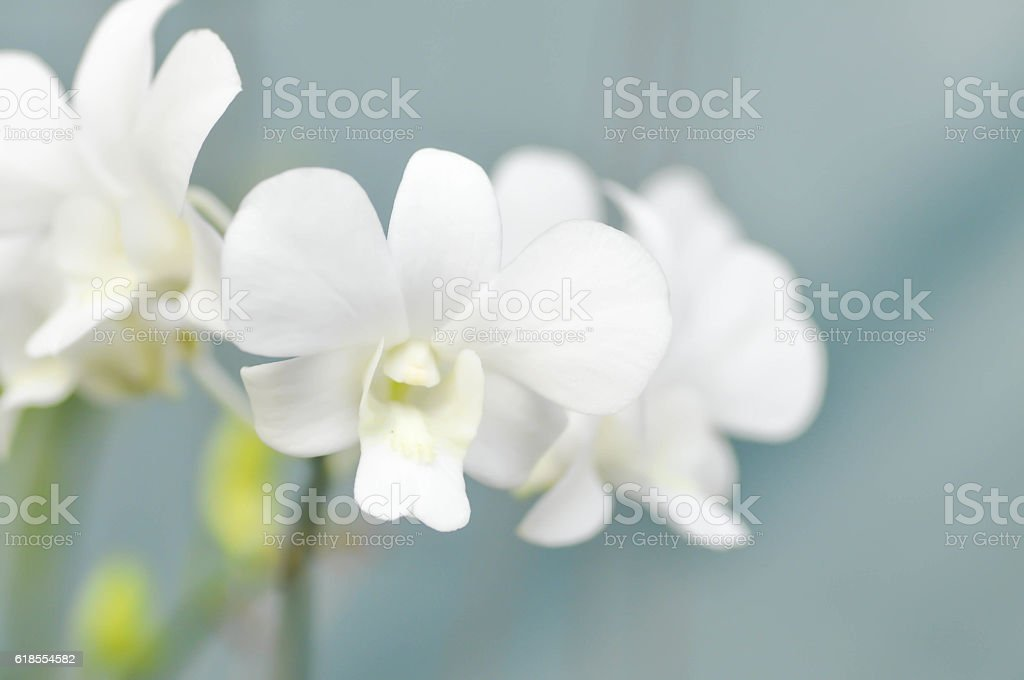 white orchid flower, orchid stock photo