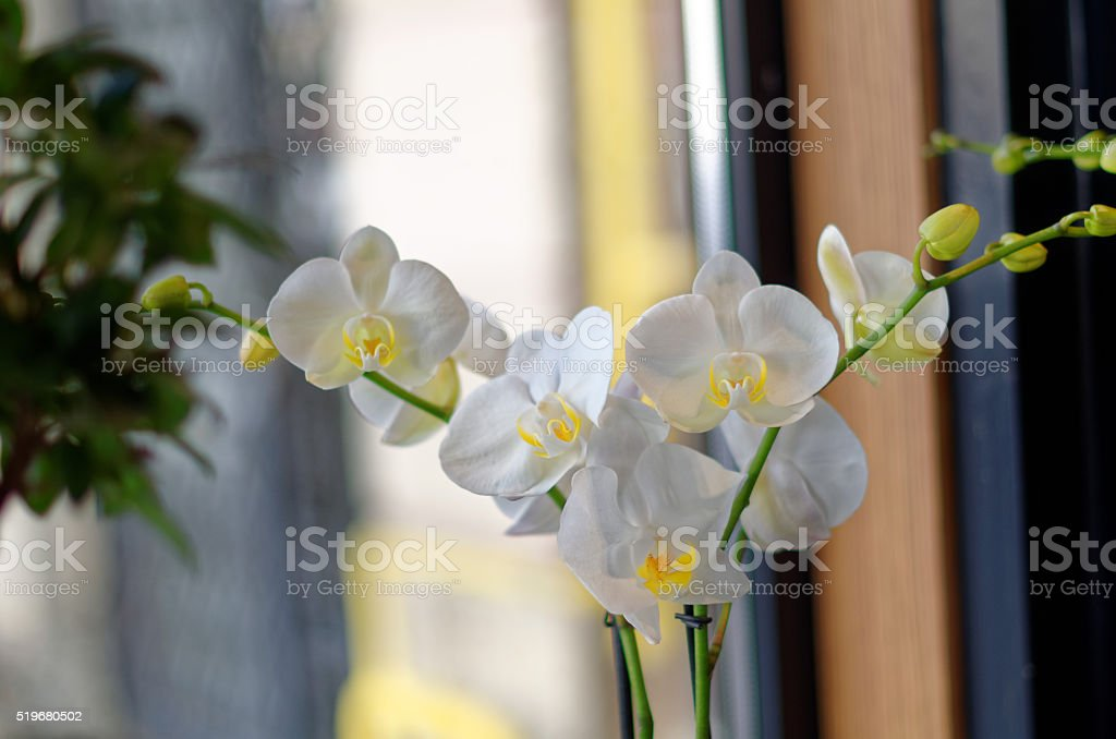 White orchid flower royalty-free stock photo