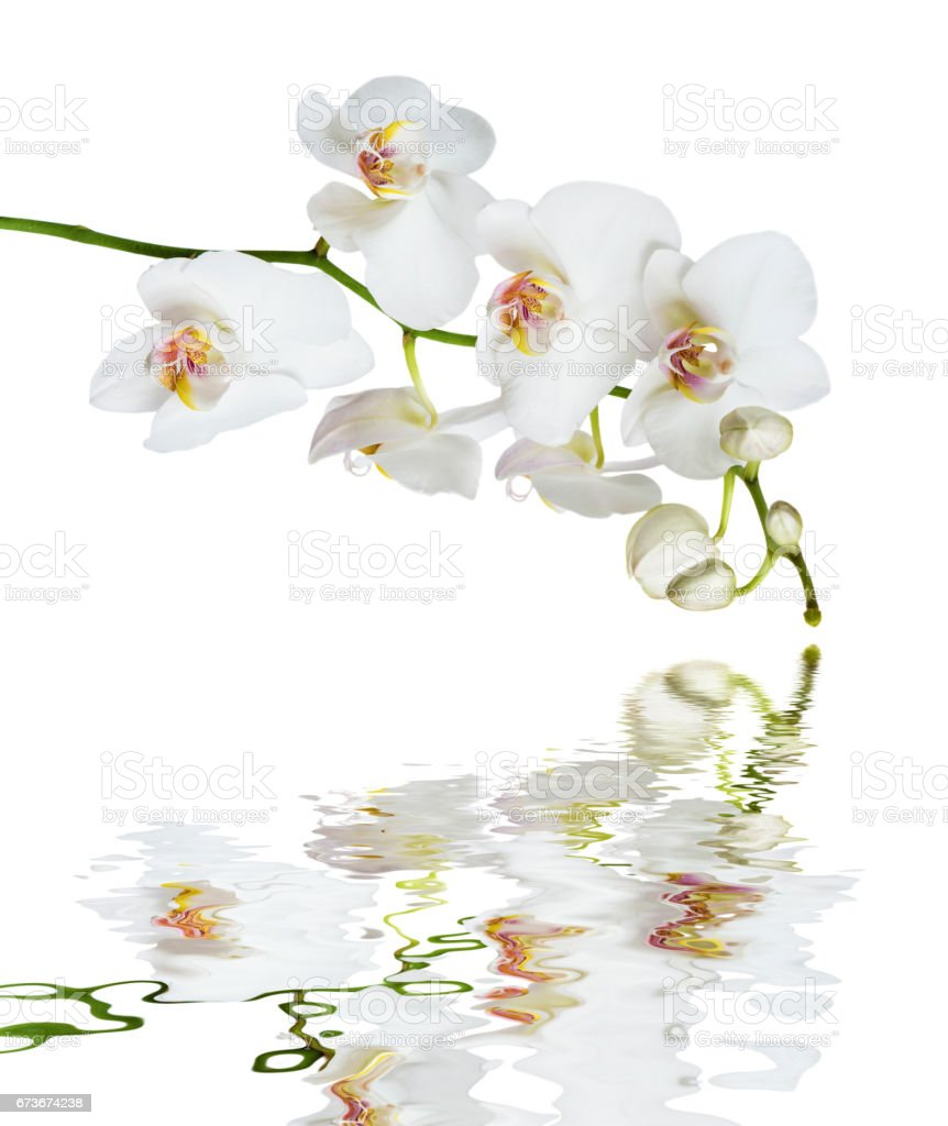 White orchid flower reflected in a water stock photo