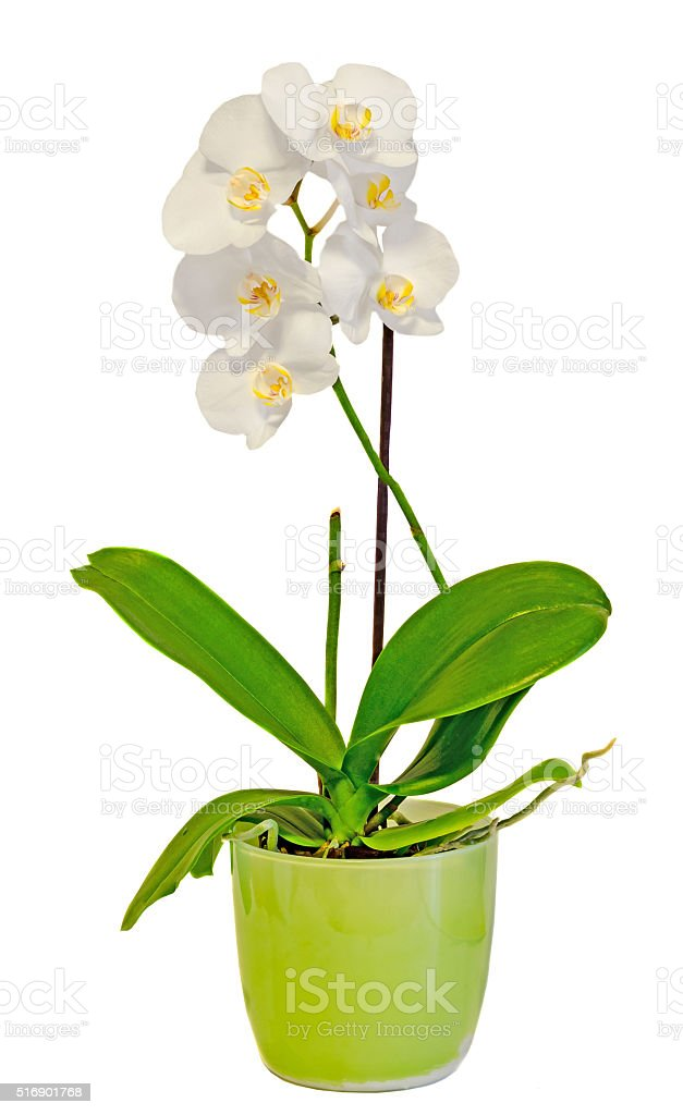 White orchid flowers in a green vase stock photo