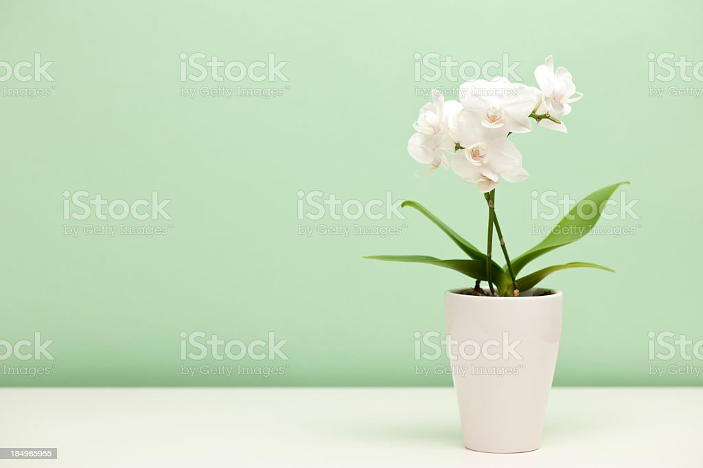 White orchid in a white case against mint green background stock photo