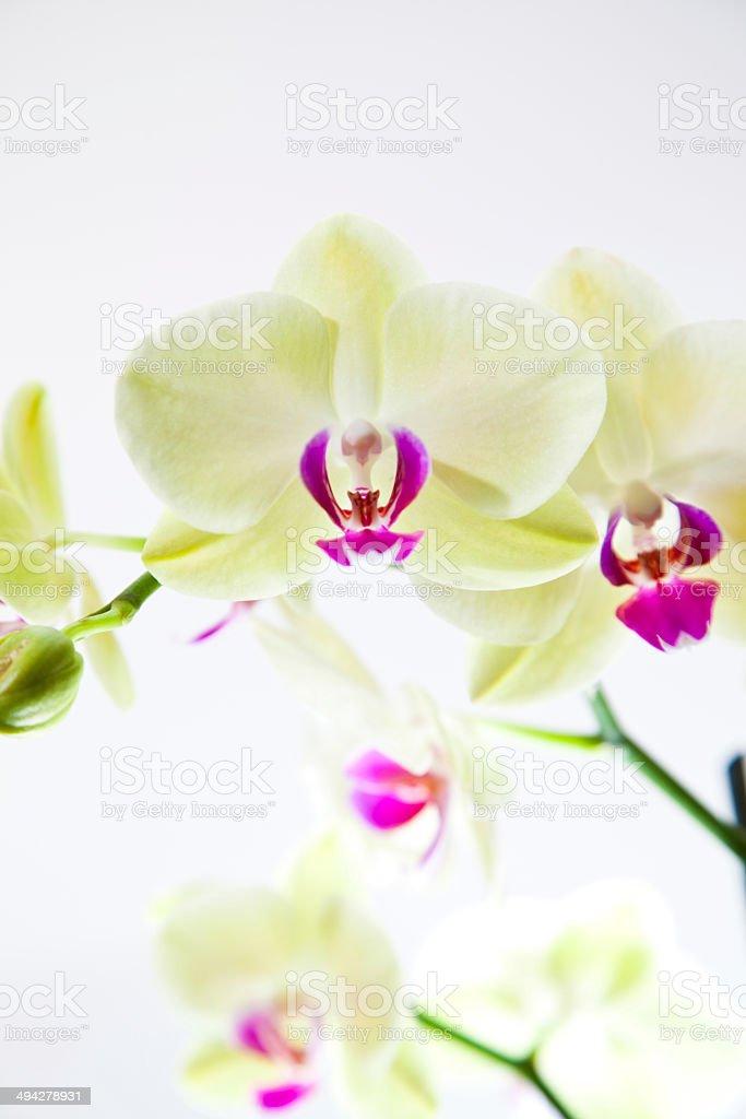 Белая орхидея на белом фоне Стоковые фото Стоковая фотография