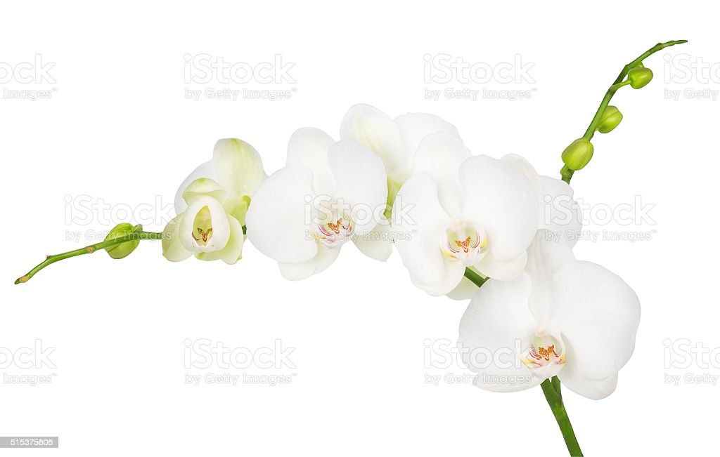 white orchid isolated on white background stock photo