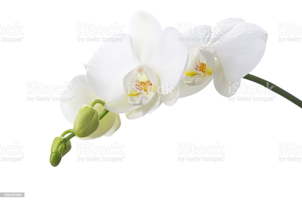 White orchid isolated on white background. stock photo