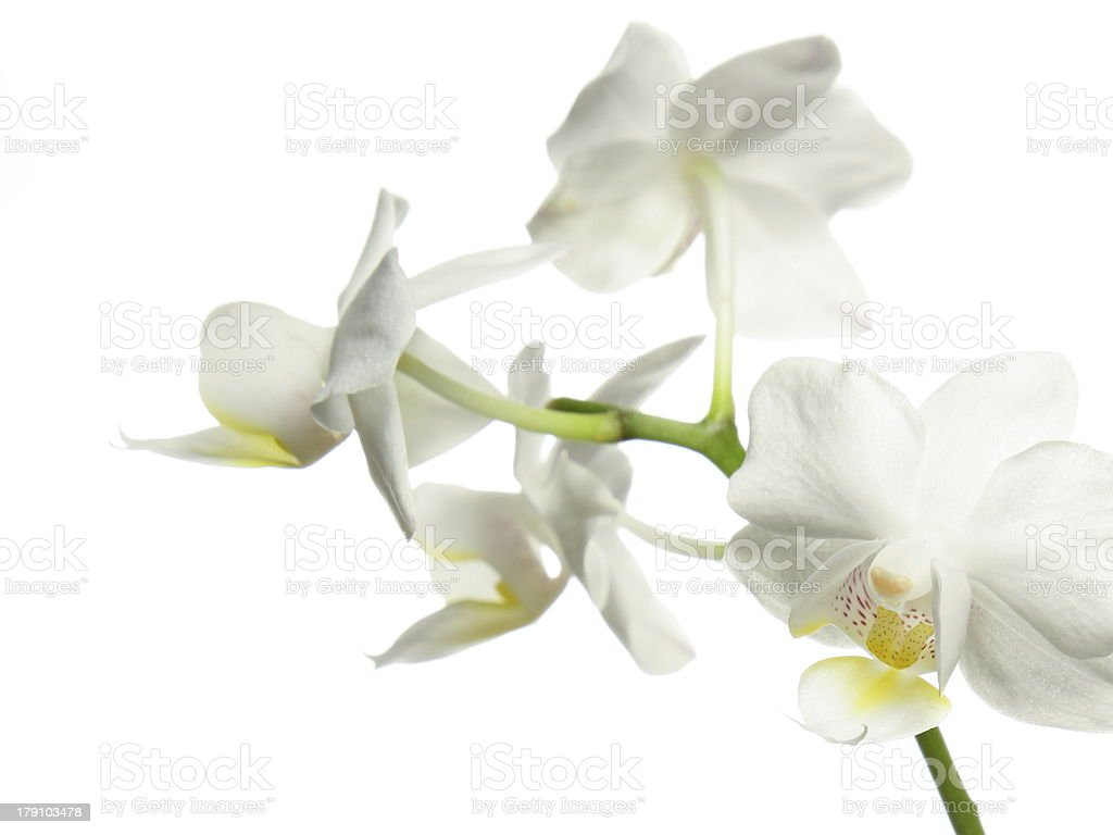 White orchid isolated royalty-free stock photo