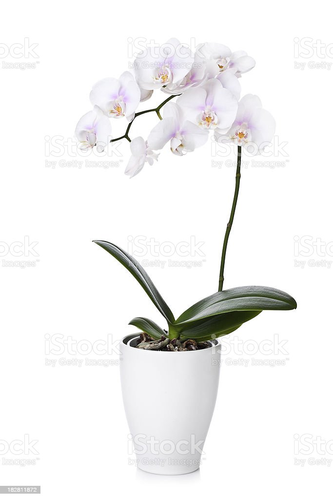 white orchid isolated stock photo